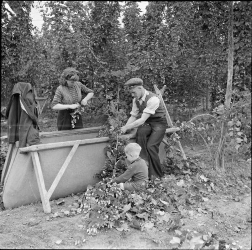Yalding Kent, c1947. Hops were grown in many parts of England, but it was the comparatively close Kent farms which attracted the London the Brighton pickers. It has been estimated that, while hand picking was still the main method of gathering hops, between one hundred thousand and a quarter of a million people made the journey to go hopping.